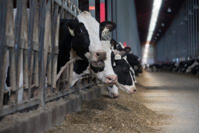 Dairy cows eating and increasing dry matter intake.